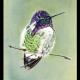 Color Pencil Hummingbird Drawing