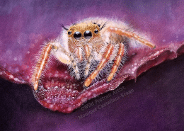TUTORIAL At the Edge jumping spider in colored pencil