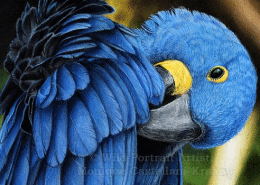 TUTORIAL Hyacinth Macaw in Coloured Pencil